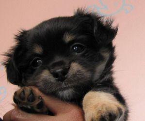 Adopt Cl Gretel On Pound Puppies Miniature Pinscher Mix Rescue Dogs