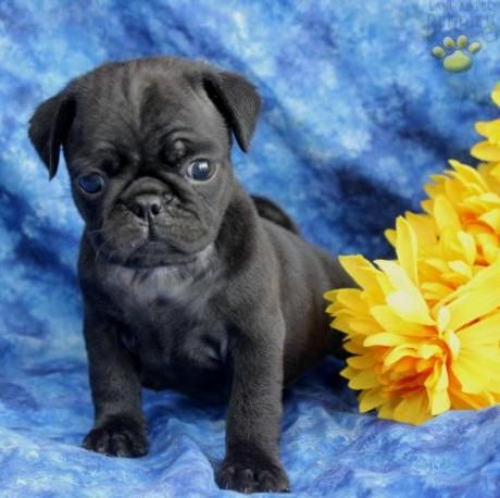 Cute Black Pug Puppy In Desperate Want Of A Pug Pug Puppies