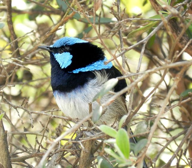 Free Image on Pixabay Blue Wren, Australian Birds, Wrens