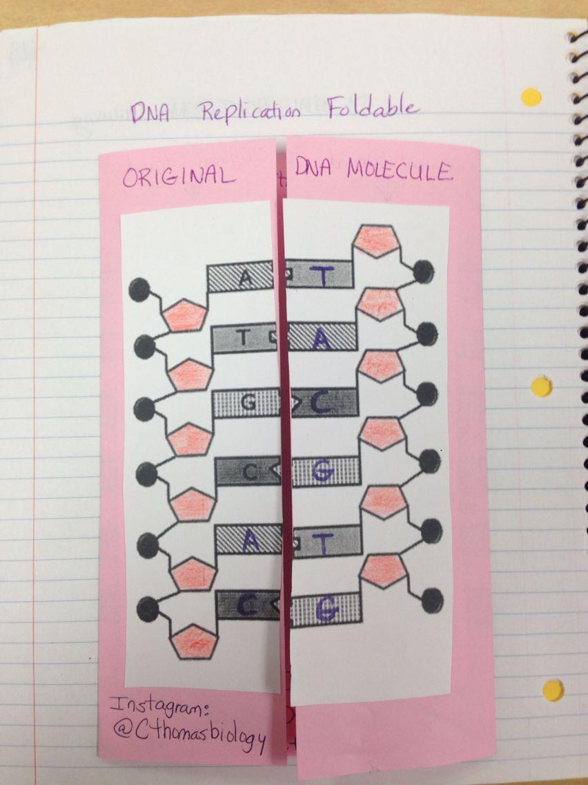 meiosis coloring worksheet