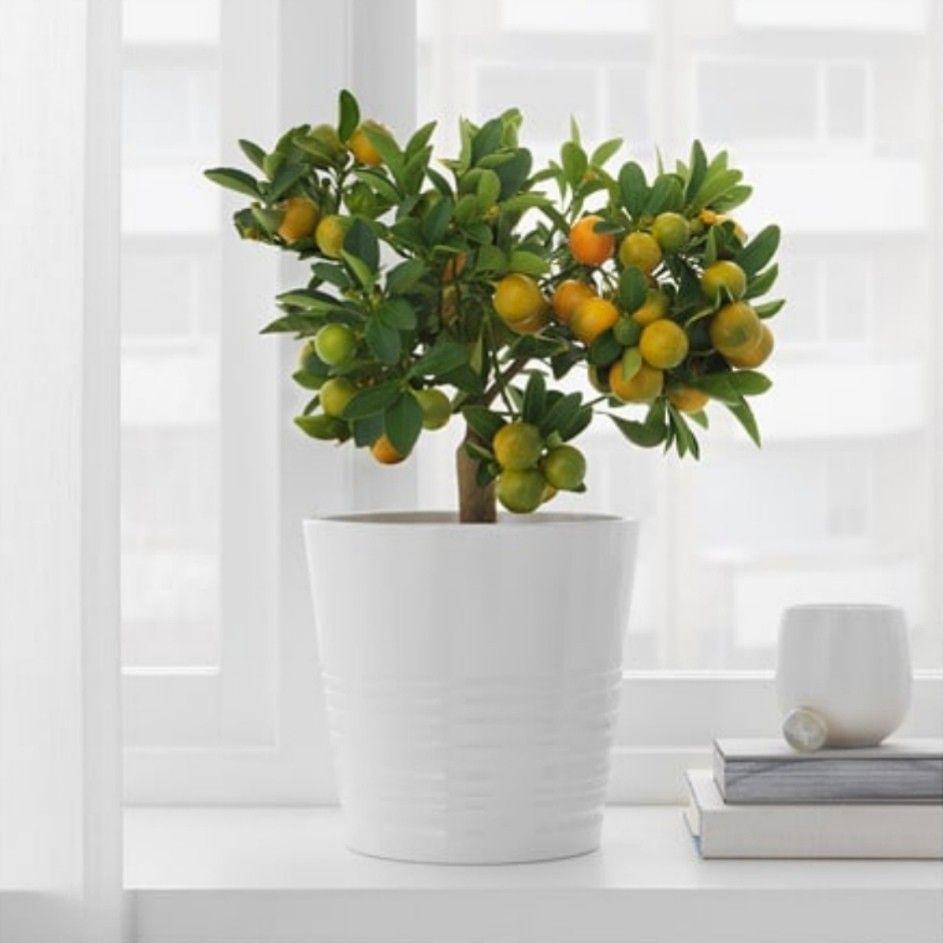 Citronnier Ou Oranger