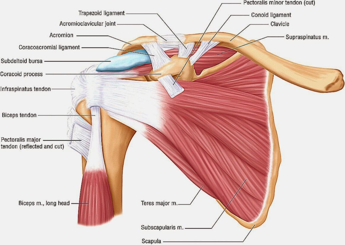 Back Muscles Anatomy