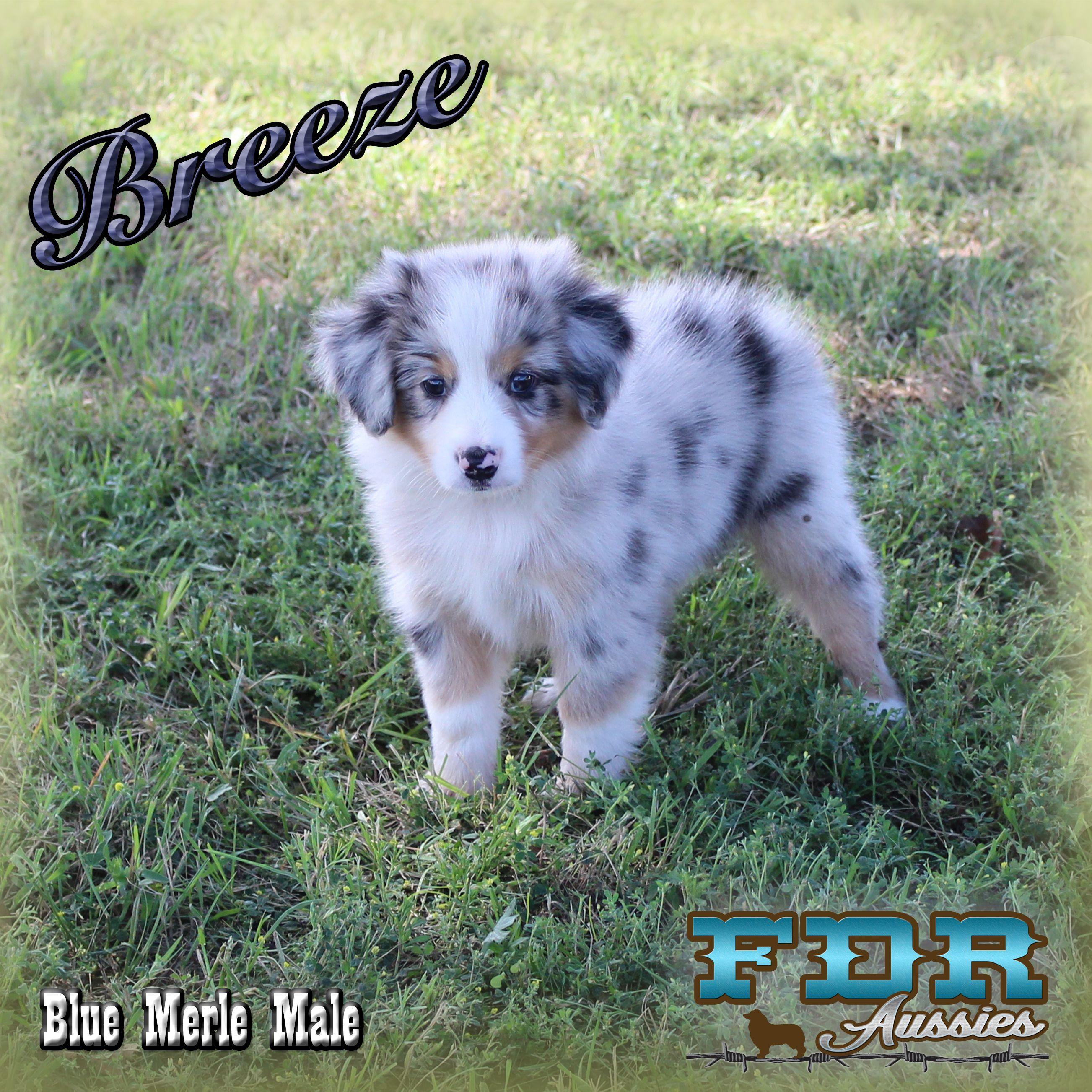 Kutter Spirit Blue Merle Australian Shepherd Puppies Mini Aussie Puppy