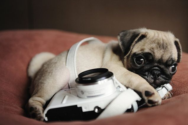 Baby Pug With Camera Puppy Photos Cute Pugs