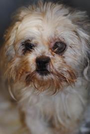 Petango.com – Meet William, a 3 years Shih Tzu / Lhasa Apso available for adoption in PHILADELPHIA, PA