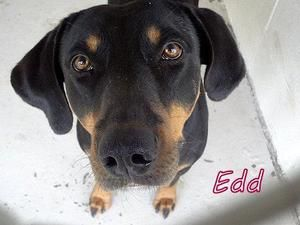 Edd Is An Adoptable Doberman Pinscher Dog In Waycross Ga Edd Is
