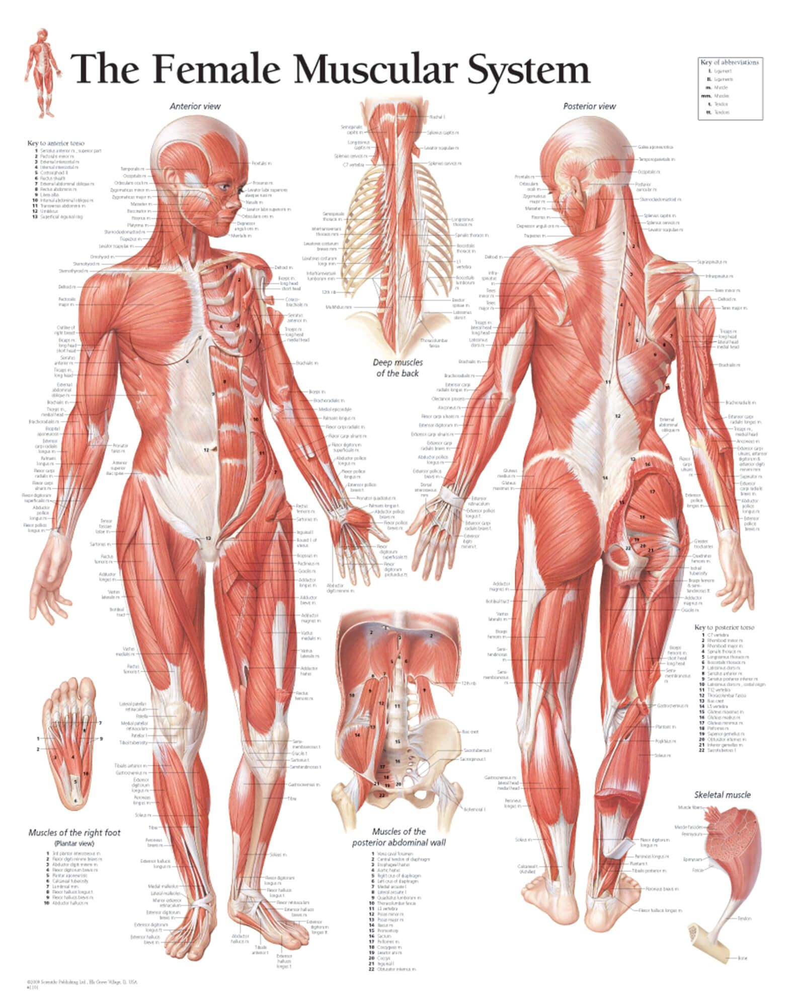The Female Muscular System Chart Graphically Portrays Front And Rear