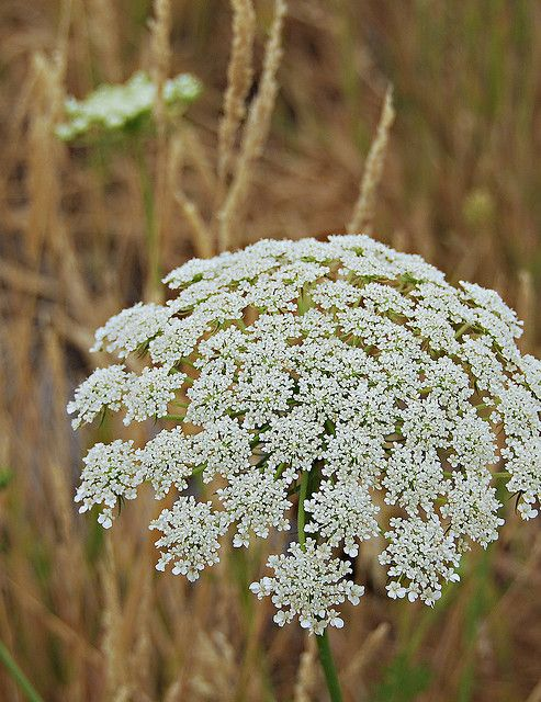 Photo of Queen Anne's Lace
