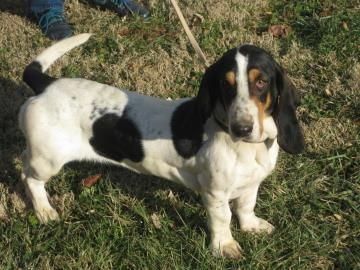 Nevada Was Adopted From Brood In April 2014 Basset Hound Rescue Dog Adoption Hound