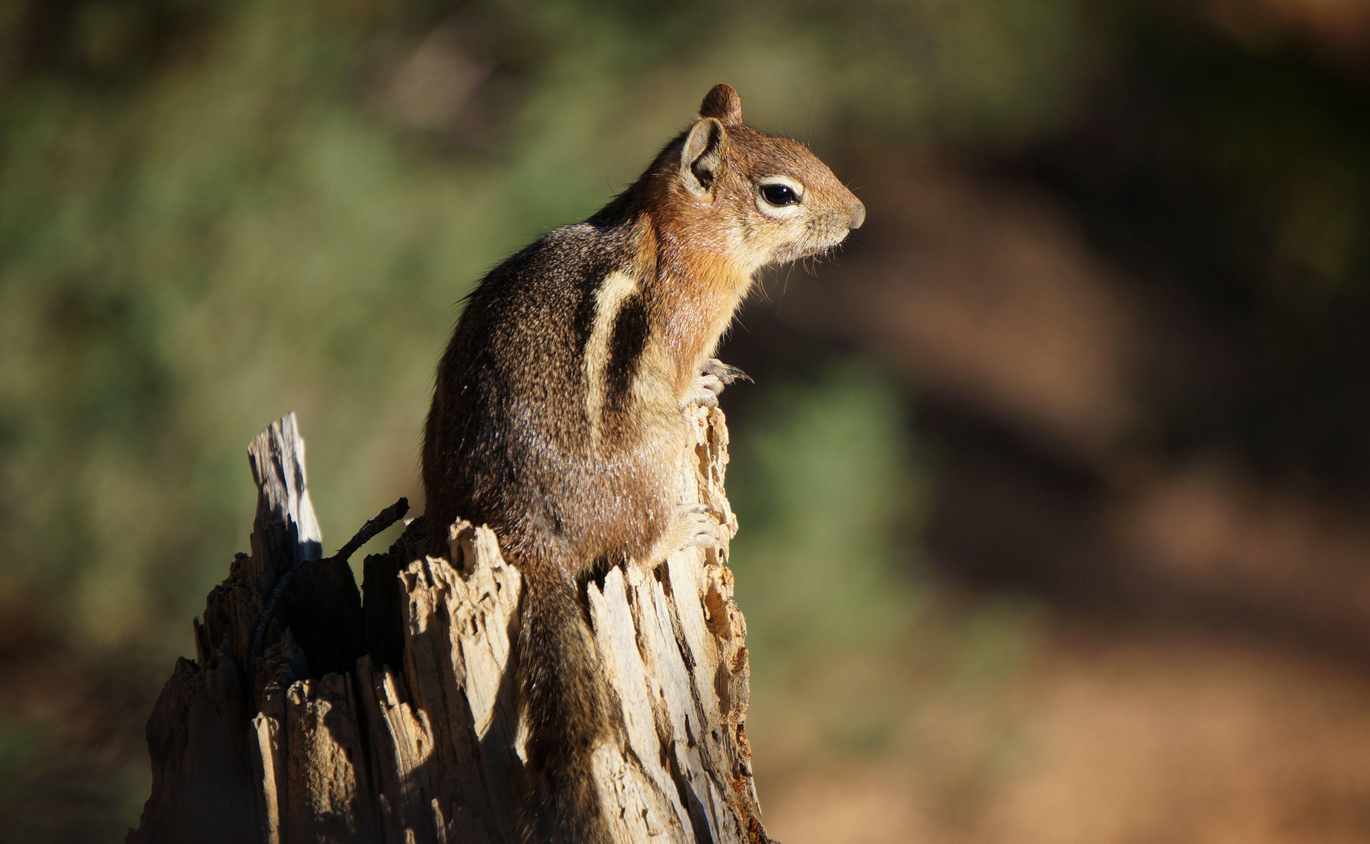 Chipmunk im Bryce Canyon, Utah