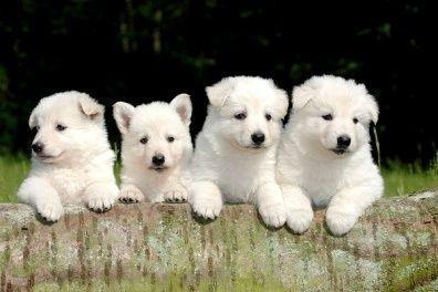 White Swiss Shepherd Dog Berger Blanc Suisse White German