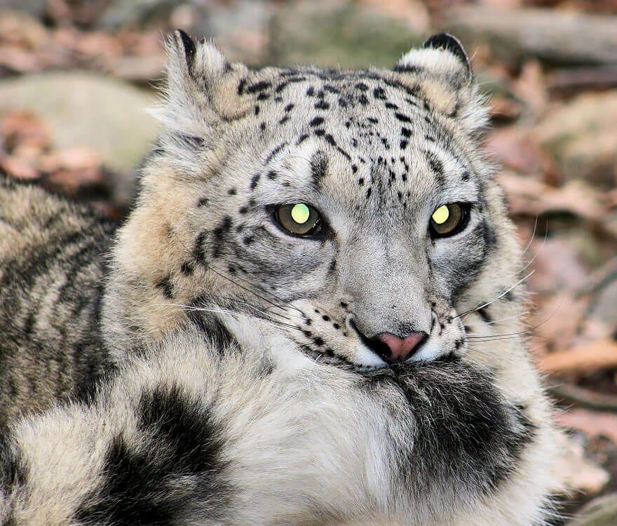 Pin On Snow Leopard