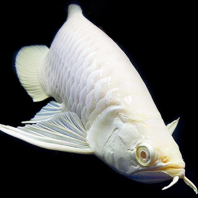 Primitive Fish V Instagram Albino Arowana Double Tap Comment Below Fol 2020