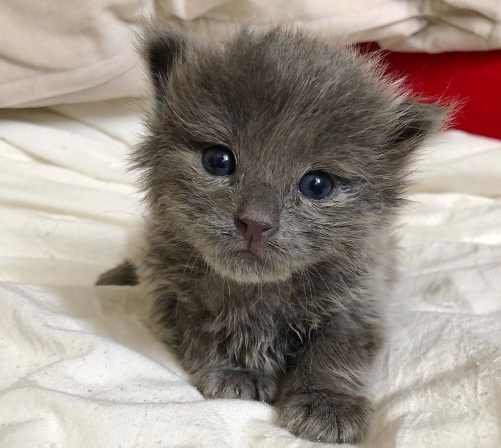 Pin By Pet Viral News On Project To Love Grey Kitten Kitten Cats