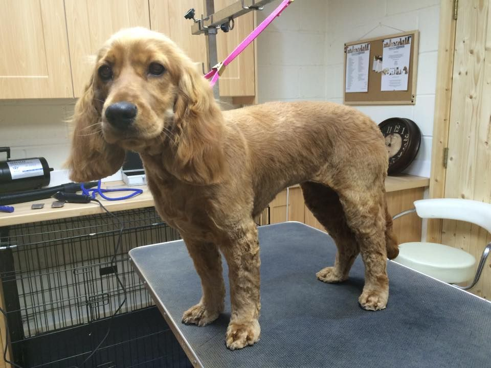 Image Result For Cocker Spaniel Haircuts Cocker Spaniel Cocker Spaniel Haircut Cocker Spaniel Grooming