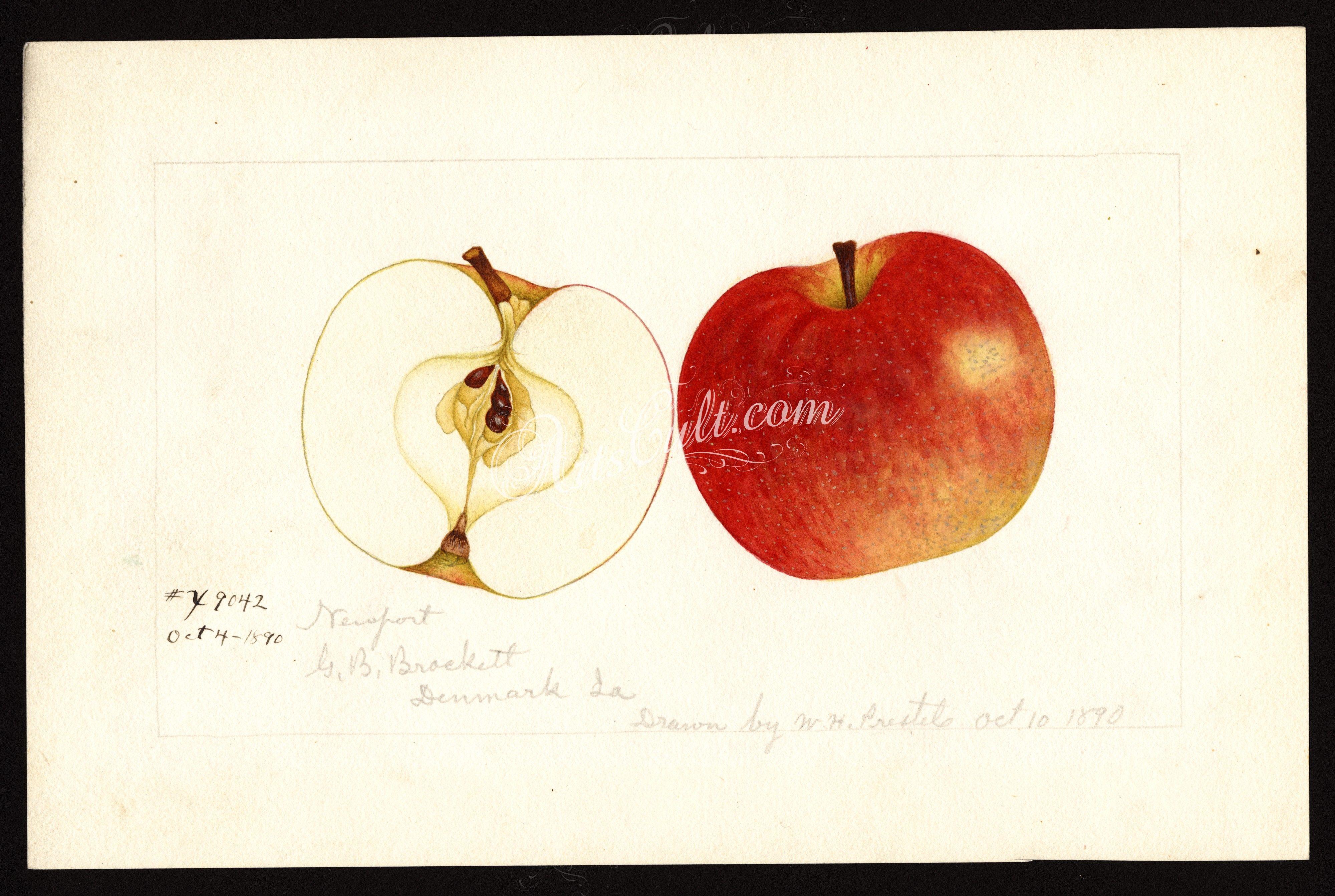 Apple malus domesticanewport botanical floral botany