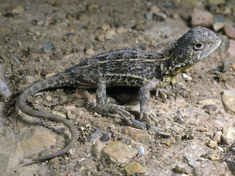 Australia Has Several New Dragon Lizard Species—and One