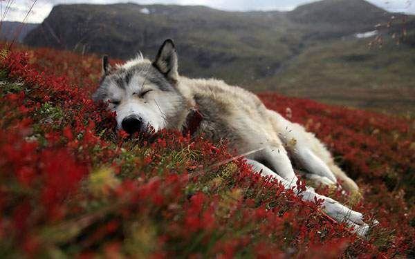 赤い花畑で眠る狼の写真