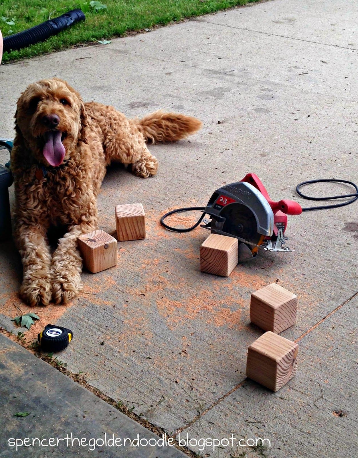 Spencer the Goldendoodle making a giant outside Yahtzee game.