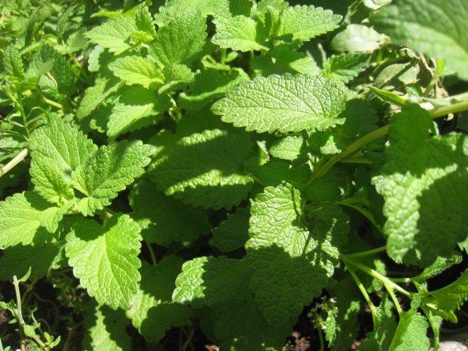 Tratar las migra as con una infusi n herbal plantas pinterest migra a remedios y remedios - Como tratar la bulimia en casa ...