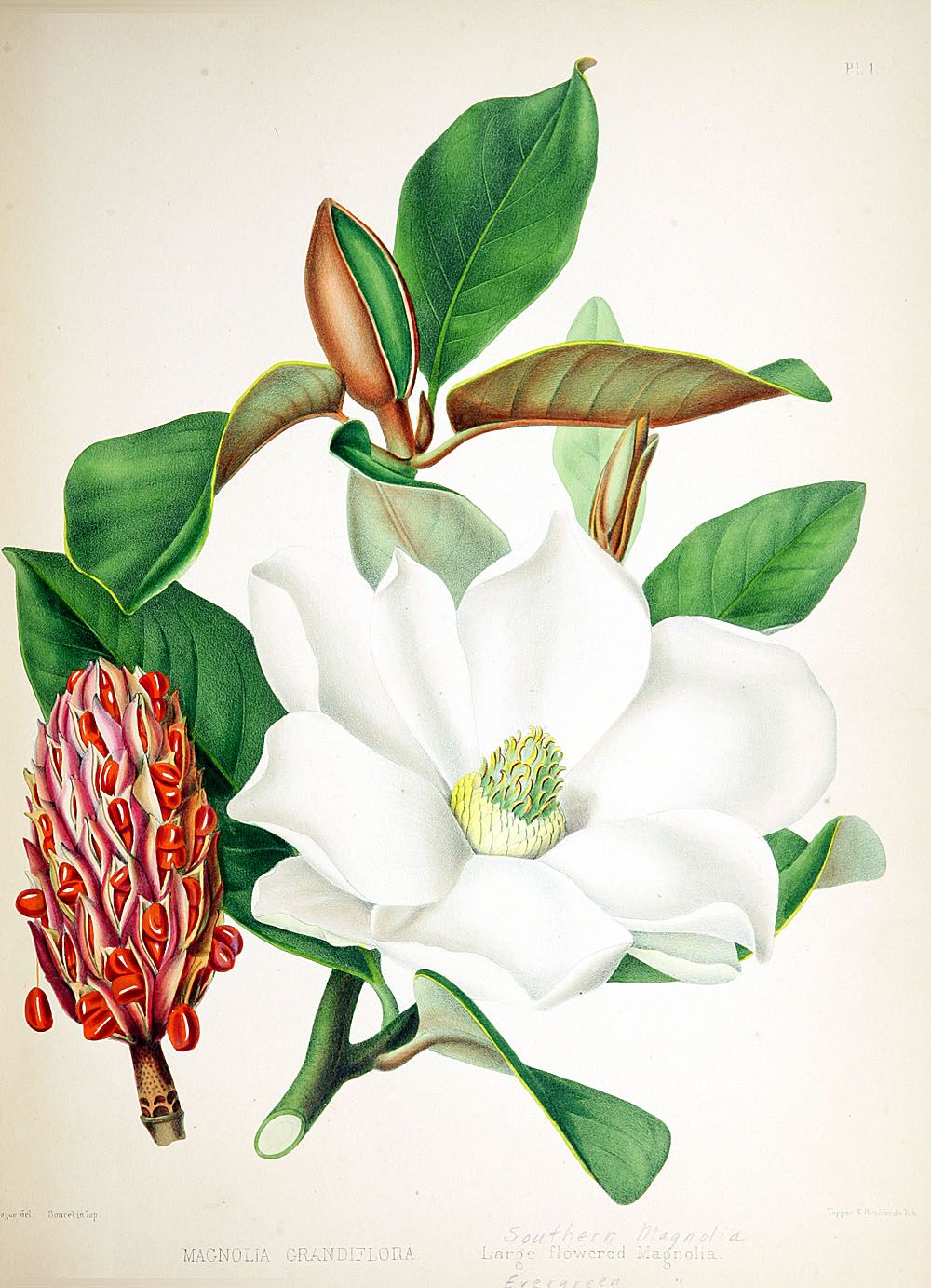 Large Flowered Magnolia Southern Magnolia 39088000610261 0013 Flower Illustration Flower Art Flower Painting