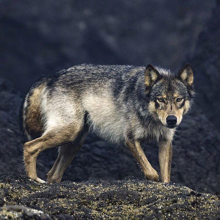 Instagram Wolf Photos Animal Spirit Guides Animals