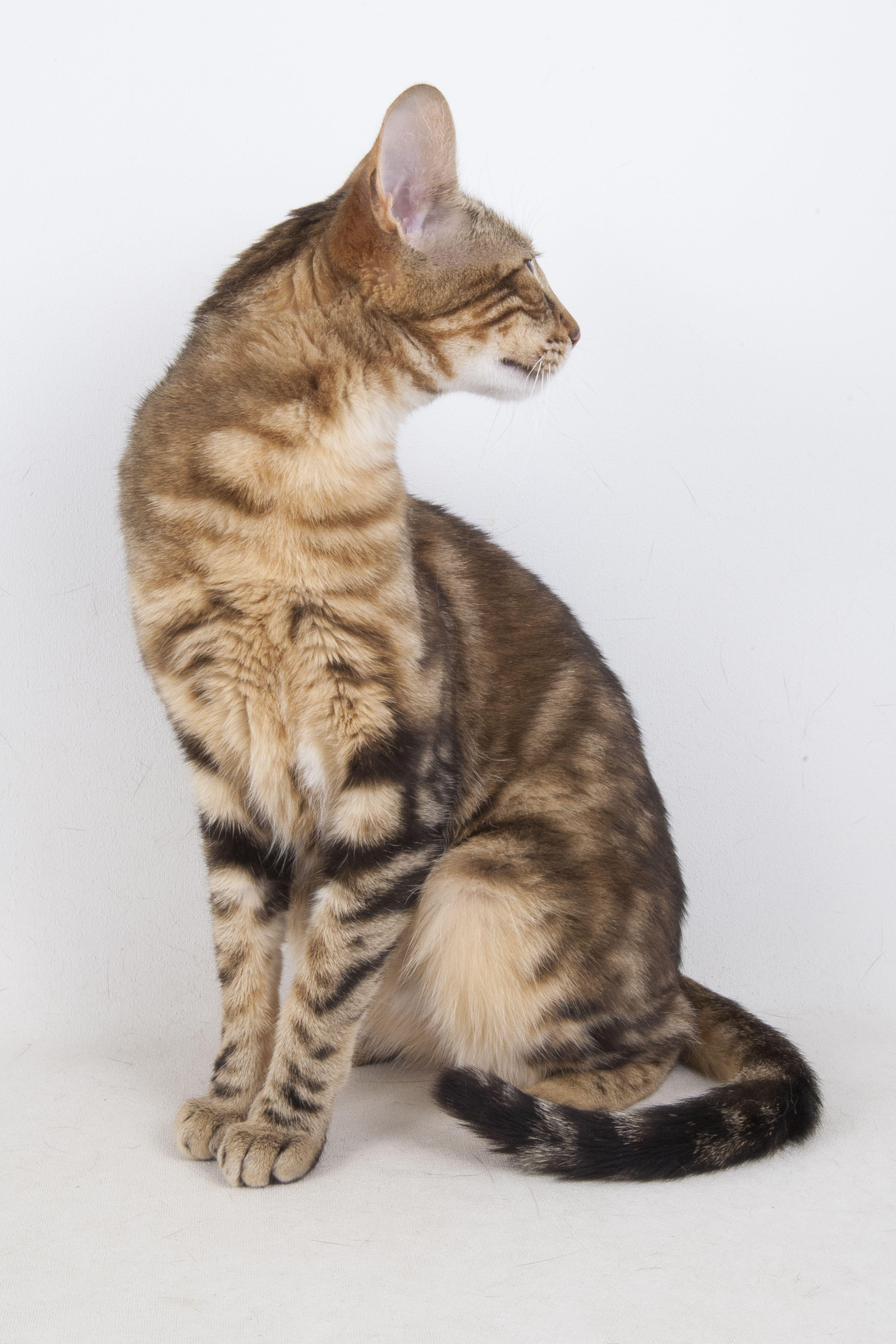 Stylisticat produced F1 Savannah Kitten Stylisticat