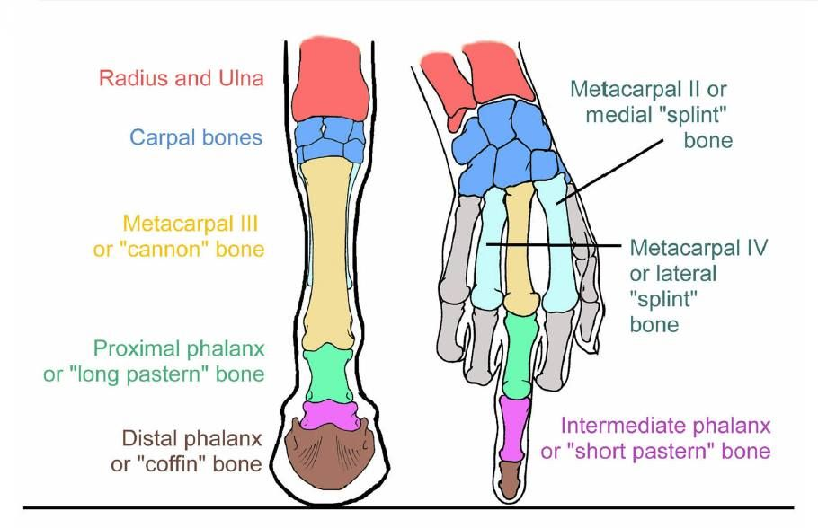 The hoof and leg compared to our hand and finger. | pets | Pinterest ...
