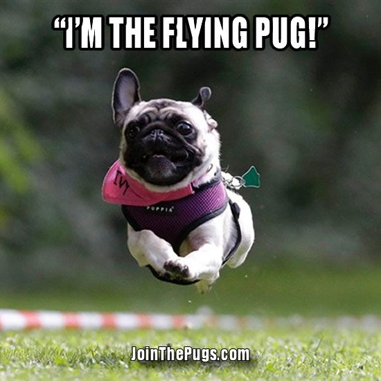 Join The Pugs Cute Animals Pugs Cute Pugs