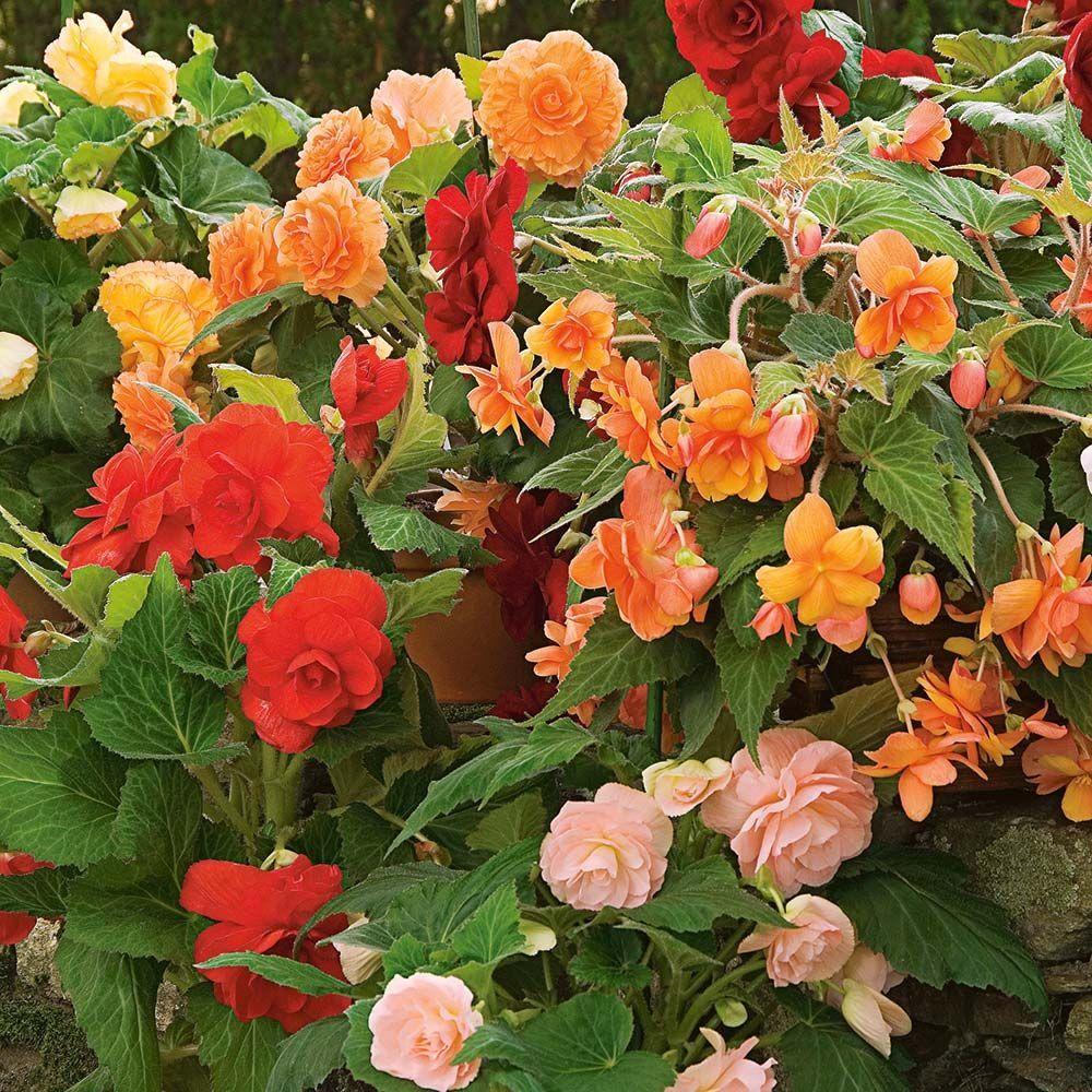 Begonias Tuberous Begonias Foliage Begonias Fragrant Begonias White Flower Farm In 2020 White Flower Farm Tuberous Begonia Annual Plants