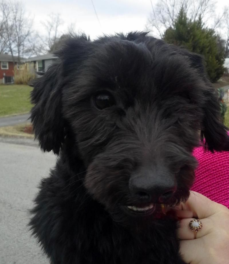 Meet Oliver, a Petfinder adoptable Poodle Dog | Nashville, TN | Hi Everyone!  I�m Oliver.  I�m a Poodle/Schnauzer mix.  I�m a young guy at around 2 years...