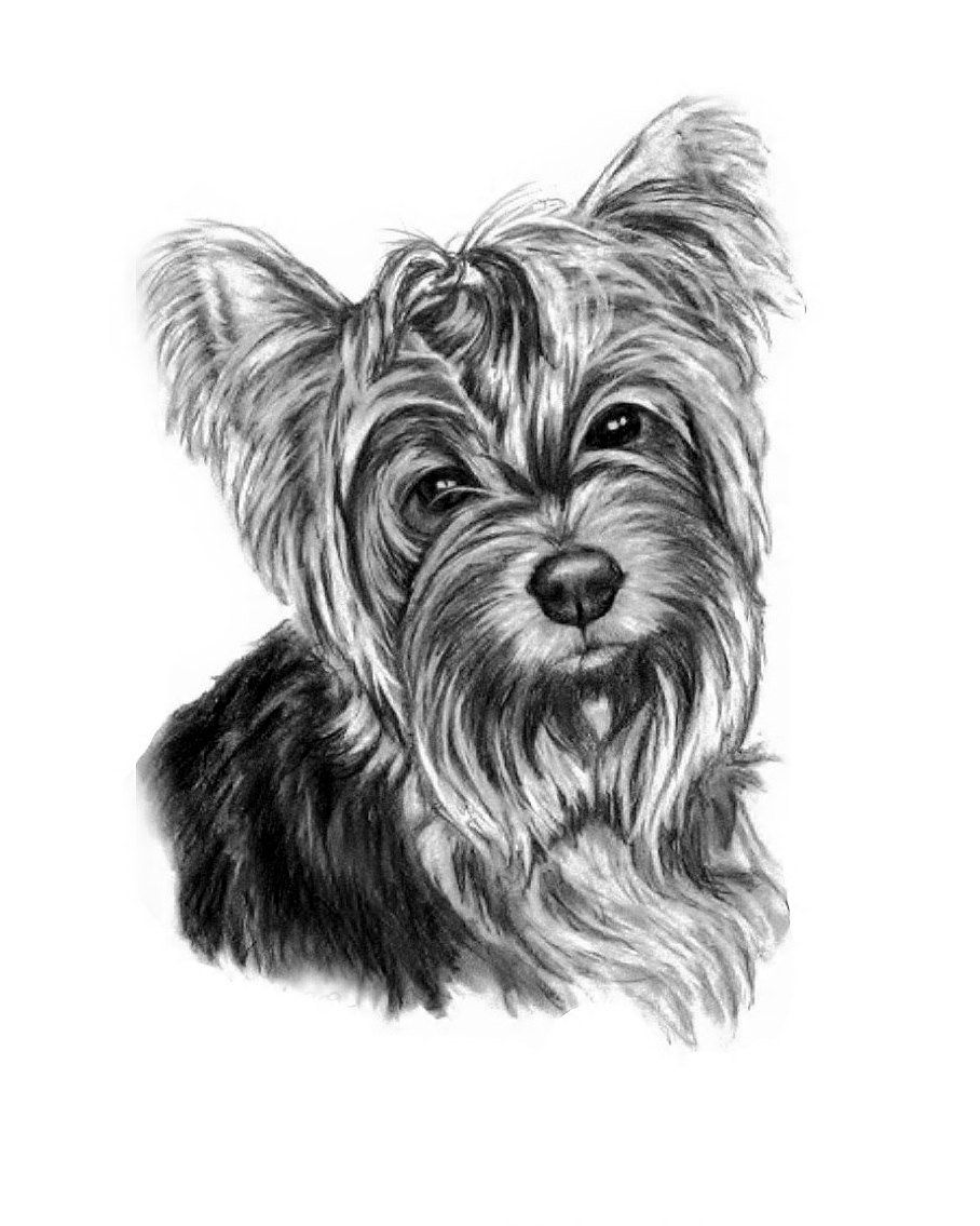 Pin By Dog Portraits On Sketches Pet Portraits Pet Portraits Dog Drawing Yorkie