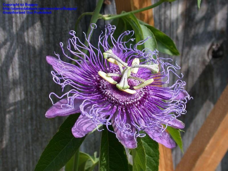 Passion Flowers Jigsaw Puzzle Rachel Arbuckle Passion Flower Puzzles Celtic Flower Jigsaw Puzzles Flower Puzzles Passion Flower