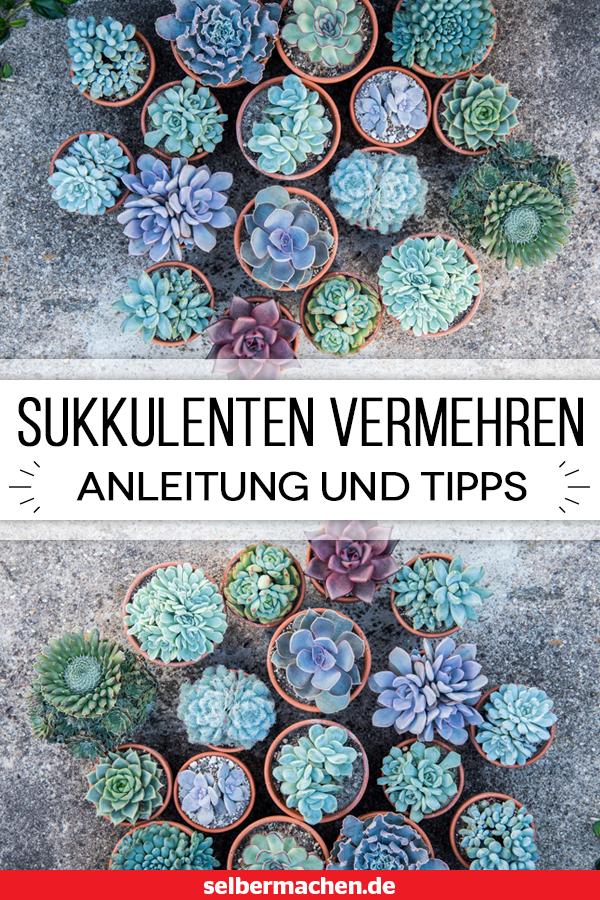 Sukkulenten vermehren: Mit dieser Anleitung klappt's!