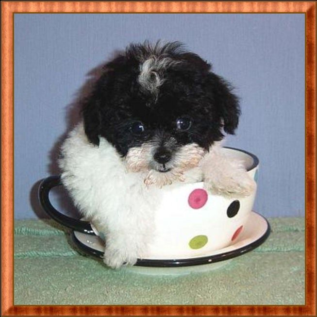 Available Teacup Poodles Tiny Toy And Toy Poodle Breeder Toy Poodle Puppies Tea Cup Poodle Poodle Puppy Toy Poodle Puppies