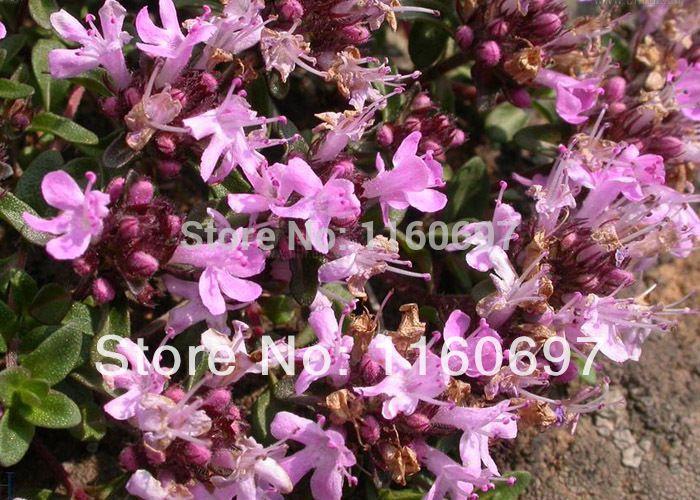 Frees shipping  new 2014 30pcs   flower seeds of Thyme   garden supplies  Ornamental Flower garden bonsai flower pots planters