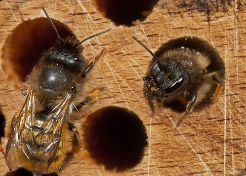 Carpenter Bees Bore Holes In The Unpainted Wooden Structures To Make Their Nests For