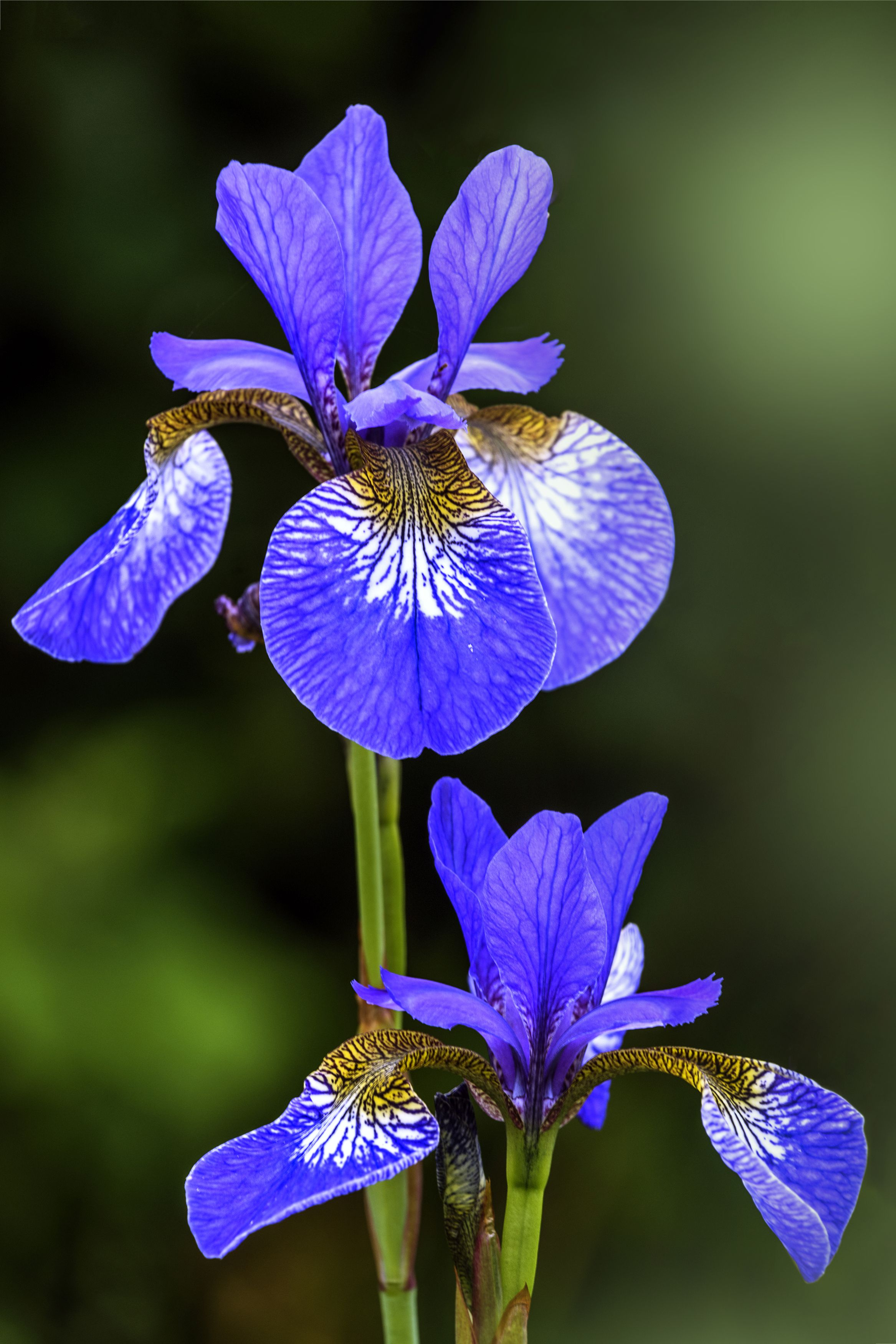 18 summer flowers for the prettiest garden ever pinterest iris irises named after the greek goddess of rainbows the iris family comes in every color under the sun divide the bulb like rhizomes every few years to izmirmasajfo