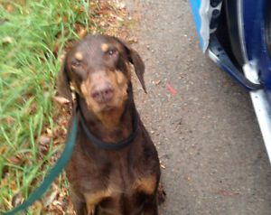 Doberman Pinscher Male Found Misses His Family Doberman
