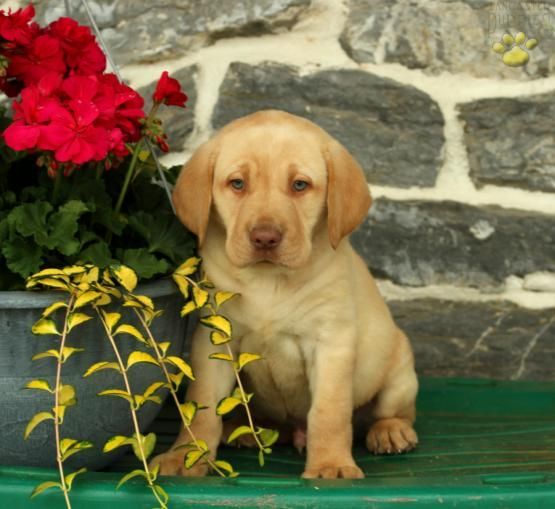 Paddington Labrador Retriever Puppy For In Leola Pa Lancaster Puppies
