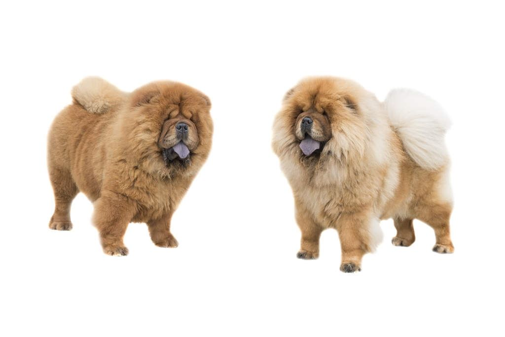 Someone Who Knows Chow Chows Should Be Able To Know The
