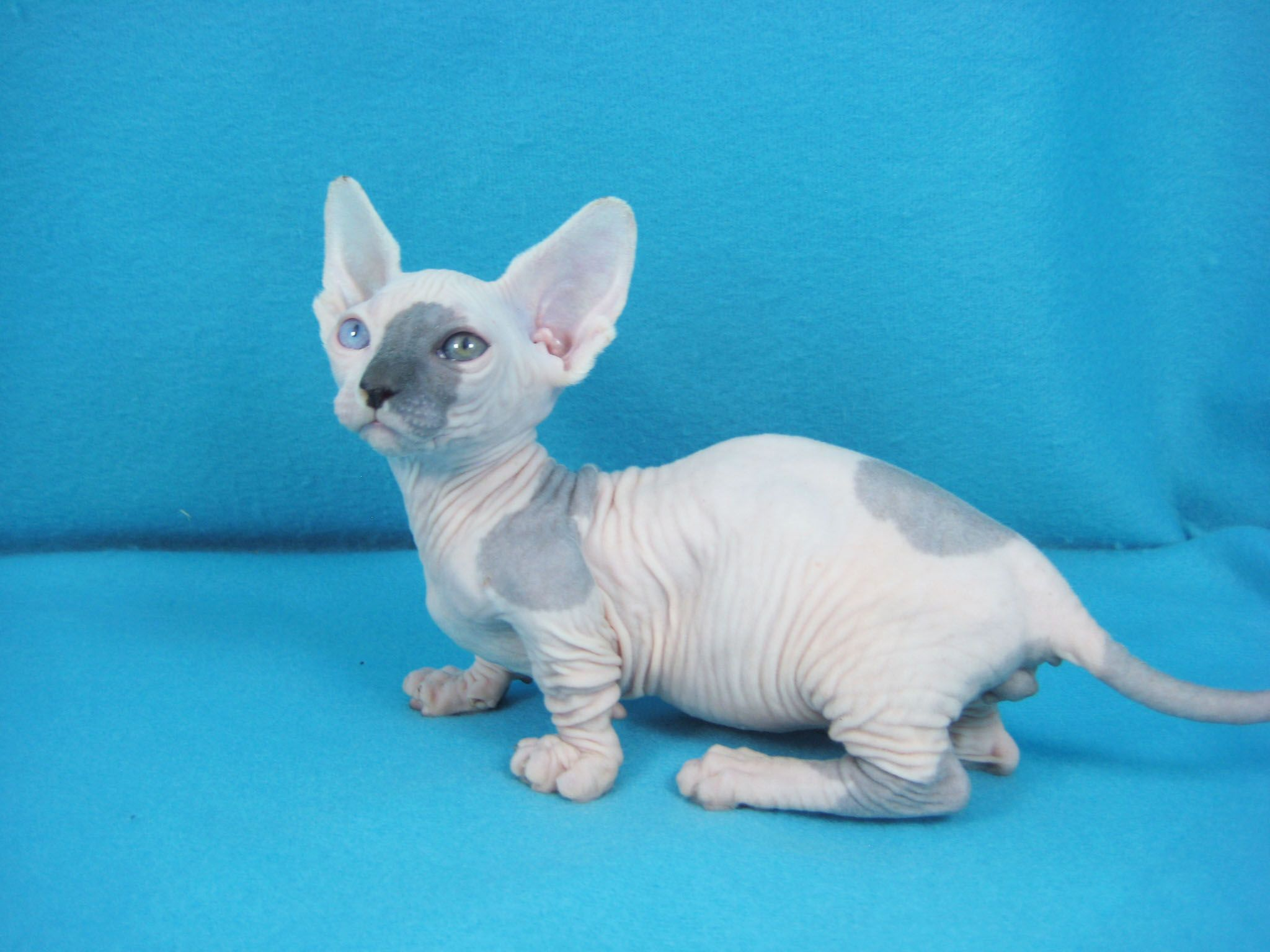 Omeogriphi Bambini ~ Home bambino and sphynx world cats cats & more cats