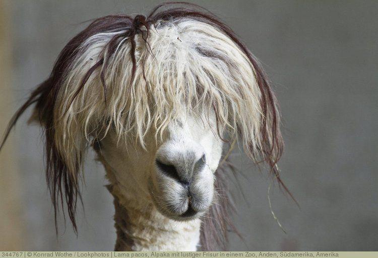 Lama Pacos Alpaka Mit Lustiger Frisur In Einem Zoo Anden Sudamerika Amerika Lustige Frisuren Bilder Lustig
