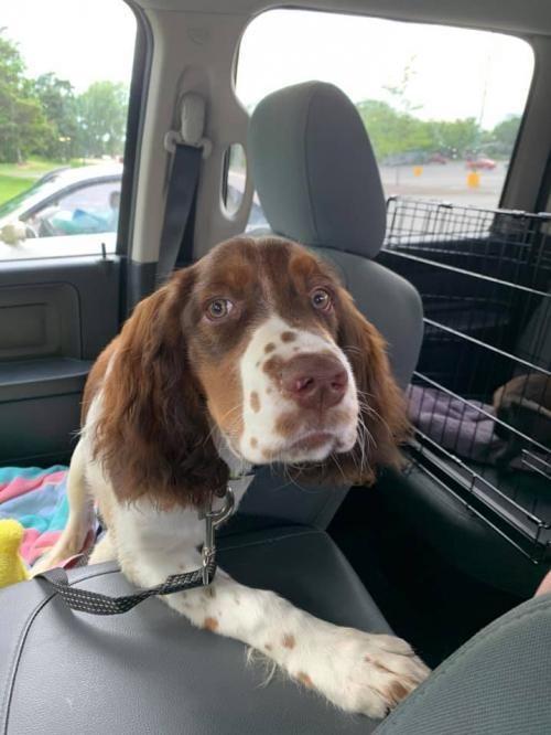Adopt Smokey on Pet search, Spaniel dog, Pet care