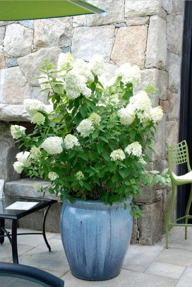 30 ways to grow hydrangeas in containers hydrangea english 30 ways to grow hydrangeas in containers garden containercontainer flowerswhite mightylinksfo