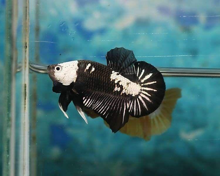 Pin By Chee Chang On Betta Fish The Live Art 2018 Siamese Fighting Fish Betta Fish Fish Pet