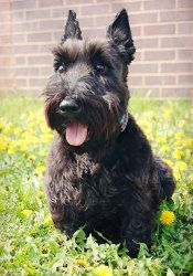 Adopt Pinky On Petfinder Scottie Dog Scottish Terrier Small Dog Rescue