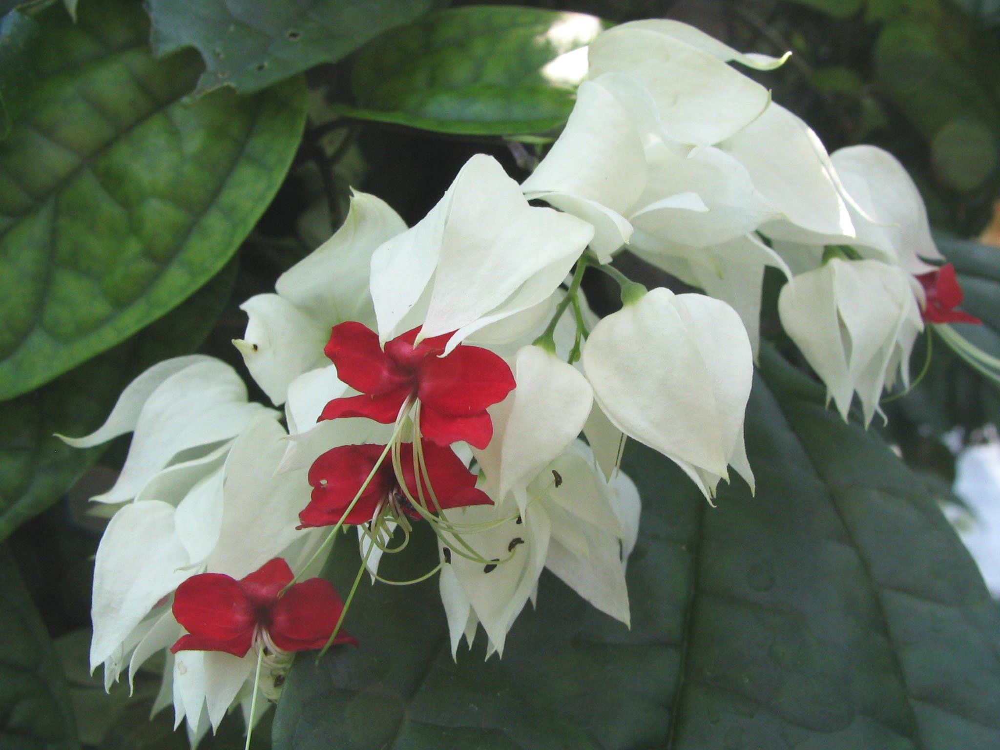 Clerodendrumthomsoniaebleedingheartvinedescflowers