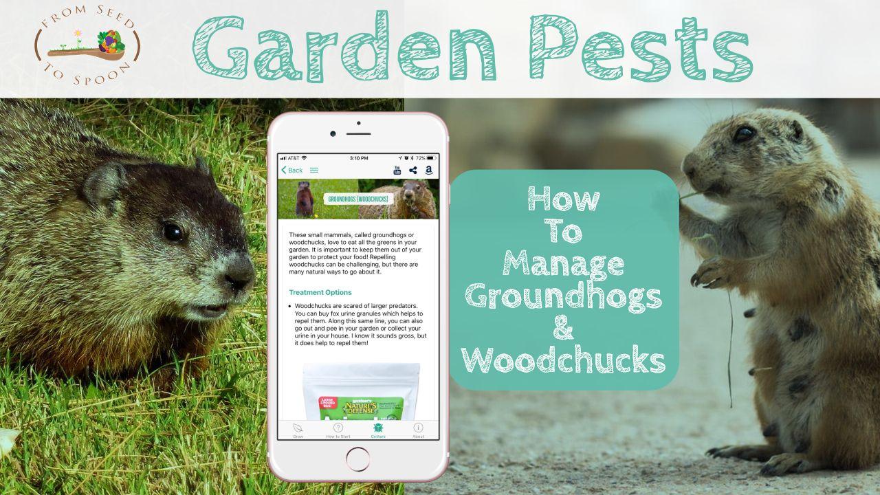 How To Manage Groundhogs Woodchucks In Your Garden Vegetable Garden Planner Garden Pests Garden
