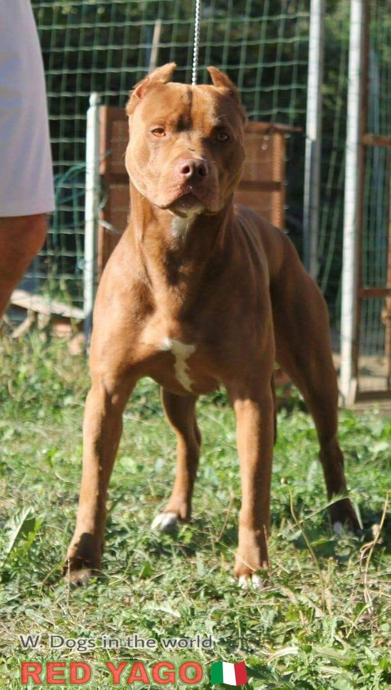 Red Yago Ukc From Italy Pitbull Dog American Pitbull Terrier